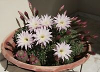 200Pc Cactus Echinopsis Tubiflora seeds Rare Flower Bonsai Plant in Home Potted
