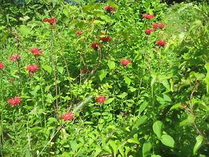 MONARDA 'JACOB CLINE' - BEEBALM - STARTER PLANT