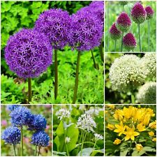SPRING FLOWERING 'ALLIUMS VARIETIES' GARDEN PERENNIAL BULBS PLANTS FLOWERS
