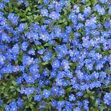 50+ VERONICA CREEPING BLUE SPEEDWELL PERENNIAL FLOWER SEEDS  GREAT CUT FLOWER