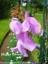 Royal Lavanda Sweet Pea-Viola - 20 semi-Lathyrus odoratus-Old Spice