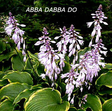 Abba Dabba Do Hosta Seeds!  PERENNIAL! COMB. S/H! MANY HOSTA SEEDS IN OUR STORE!