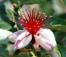 Acca sellowiana @ Ananas-Guave @ essbar @  Kübelpflanze @ Obst @ 10 Samen