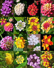 Lantana Mix, Shrub Verbenas Butterfly Garden Flowers Ham And Eggs seed 20 seeds