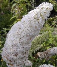 Schmetterlingsstrauch davidii Peace - Buddleja davidii Peace (60-100)