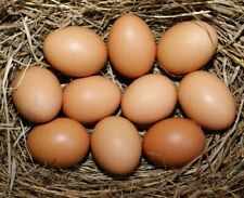 16 Barnyard Chicken Fertile Hatching Eggs- New Hampshire Red and Plymouth Rock