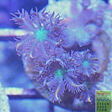 "SAF~Clove Polyp frag ""WYSIWYG"" Soft Corals, Zoa, Pope Organ, Live Colony"