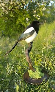 Professinal Bird Taxidermy Eurasian magpie by Trophy Collection