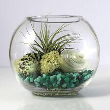 Air plant Kit glass Terrarium Green theme with pearl shells and Green Ionantha