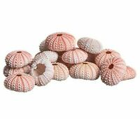 Sea Urchin | 25 Pink Sea Urchin Shell | Craft & Decor