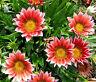 GAZANIA KISS ROSE Gazania Rigens - 200 Bulk Seeds