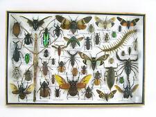 Insectes 3D - exotiques réel - une beauté unique - taxidermy Naturalise  XXL 84