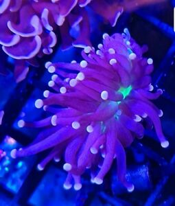 Atomic torch(Euphyllia glabrescens) LPS CORAL