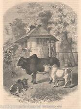 Antique print Zebu / Bos indicus Brahmin 1859 Zebus humped cattle Brahman
