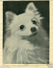 1930 Book Plate Dog Print Zwergspitz German White P Popper