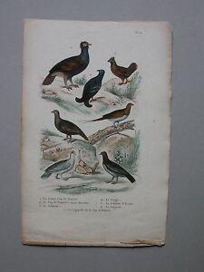 GRAVURE Ganga Lagopede Coq Planche Ornithologie (G66)