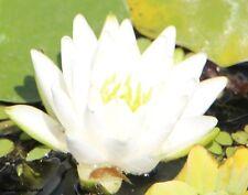 2 weiße Seerosen Schwimmpflanzen Pflanzen für den Gartenteich Teichpflanzen Deko