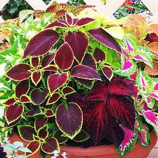 New 100pcs Mix Colors Coleus Blumei Seeds Leaves Plant Garden Bonsai Decor