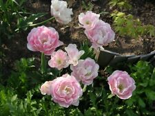 """15 Pink Double Late Tulip Bulbs """"Angelique"""" ***Ready for Fall Planting"""