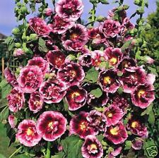 35+ CREME DE CASSIS HOLLYHOCK FLOWER SEEDS / PERENNIAL