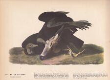 "1942 Vintage AUDUBON BIRDS #106 ""BLACK VULTURE"" EATS SKULL Color Art Plate Litho"