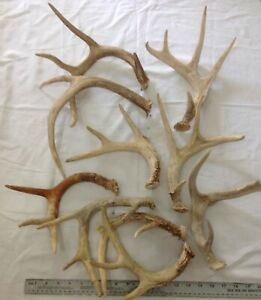 Lot of 10 Wild WHITETAIL DEER ANTLERS  Horn Decor Craft  Dog Chews