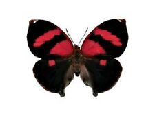 ONE REAL BUTTERFLY RED SIDERONE NEMESIS EL SALVADOR UNMOUNTED WINGS CLOSED