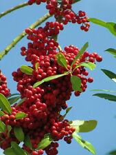Dahoon Holly, ilex cassine Florida native wild tree bonsai shrub seed 50 seeds