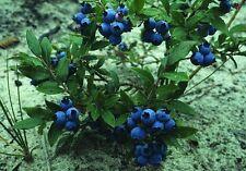 Velvetleaf Mirtillo-Vaccinium myrtilloides - 25 semi-Frutti di Bosco sano