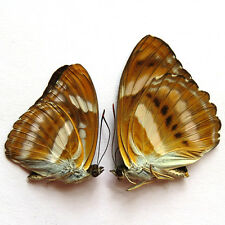 """"""" RARE """" PAIR unmounted butterfly Nymphalidae Athyma nefte GUANGXI  #402"""