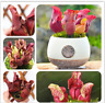 Purple Pitcher Seeds Plant Sarracenia Purpurea Flower Bonsai Carnivorous Plant