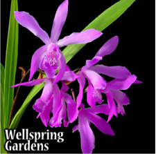 Ground Orchid - Bletilla Striata Big Bob Zone 5 VERY HARDY LIVE PLANT