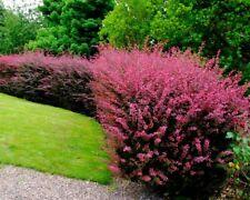 Berberis thunbergii 'Rosy Glow' x 1 small plant