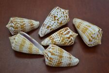 "6 PCS ASSORT TESSELLATE CONUS CONE SEA SHELL BEACH DECOR 1/2"" - 2"" #7647"
