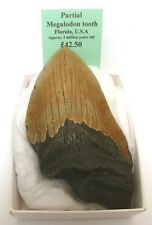Partial Megalodon Shark Tooth - 10.5 x 6.5 cm - from Florida, USA - FREE P&P