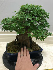 JAPANESE TRIDENT MAPLE BONSAI