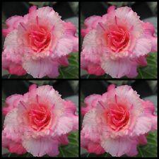 Adenium~Desert Rose < DOUBLE-PINK SIAM VANILLA > Suit Bonsai Indoor~10 SEEDS