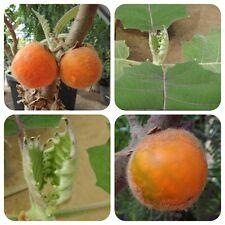 Lulo Solanum quitoense Naranjilla Lulu tolle Pflanze mit orangen Früchten