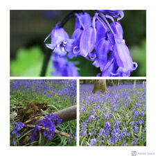 50 x Cultivated English Bluebell Bulbs. Hyacinthoides non-scripta.