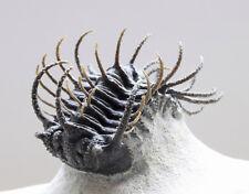 Seltener Trilobit Koneprusia sp. / Rare Trilobite Koneprusia sp.