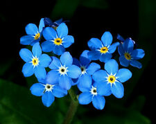 Heirloom 400 Seeds Forget Me Not Myosotis Alpestris Sea Sky Blue Garden Flowers