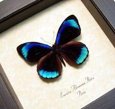 Real Framed Eunica Alcmena Flora Metallic Blue Bands Butterfly 811