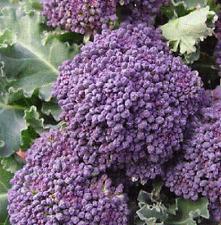 Organic NON-GMO Broccoli- Purple Sprouting 25+seeds Buy 2 Get 1 free