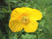 1000 Yellow Welsh Poppy Flower Meconopsis Cambrica  - Seeds - Hardy Perennial