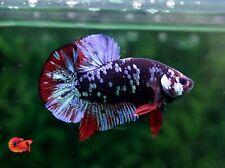 """Black Blue Avatar - Live Male Plakat Halfmoon Betta Fish """"Display Quality"""" A+++"""