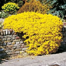 60+ Yellow Alyssum Perennial Flower Seeds Mix / Ground Cover