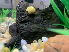 "20 Golden Mystery Snails 1/2"" to 2"" Live Snail Freshwater"