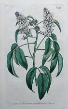 PSORALEA GLANDULOSA,   Curtis, Edwards Antique Botanical Print 1806