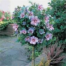 Rose of Sharon Tree Hibiscus syriacus 1 to 2 feet Tall  Live Tree