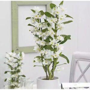 Seedling orchid dendrobium nobile white
